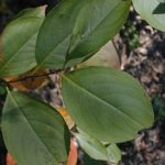Black Chokeberry - Photinia melanocarpa (Aronia melanocarpa, Pyrus melanocarpa) 5