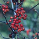 Red Chokeberry - Photinia pyrifolia (Aronia arbutifolia, Pyrus arbutifolia)