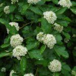 Ninebark, Common Ninebark - Physocarpus opulifolius 2