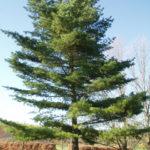 Eastern White Pine - Pinus strobus 3