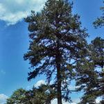 Virginia Pine, Scrub Pine, Spruce Pine, Poverty Pine, Jersey Pine - Pinus virginiana 3
