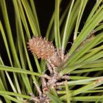 Shortleaf Pine, Yellow Pine, Spruce Pine - Pinus echinata 2