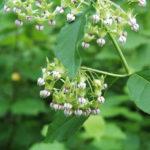 Poke Milkweed - Asclepias exaltata