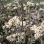 Prairie Pussytoes - Antennaria neglecta