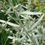 Prairie Sage, White Sagebrush - Artemisia ludoviciana