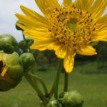 Prairie Dock, Prairie Rosinweed - Silphium terebinthinaceum 2