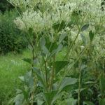 Prairie Indian Plantain - Cacalia plantaginea