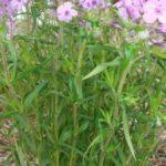 Prairie Phlox, Downy Phlox - Phlox pilosa