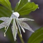 Spotted Mandarin, Nodding Mandarin - Prosartes maculata (Disporum maculata) 3