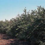 American Red Plum, Wild Plum, American Plum - Prunus americana 4