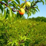 Chickasaw Plum, Sand Plum, Mountain Cherry, Sand Hill Plum - Prunus angustifolia