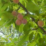 Mexican Plum, Bigtree Plum, Inch Plum - Prunus mexicana 5