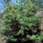 Chokecherry, Common Chokecherry - Prunus virginiana 6