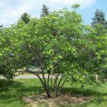 Common Hoptree, Wafer-ash - Ptelea trifoliata 5