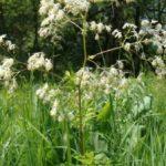 Purple Meadow Rue, Tall Meadow Rue - Thalictrum dasycarpum