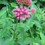 Purple Milkweed- Asclepias purpurascens