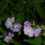 Purple Phacelia, Fernleaf Phacelia - Phacelia bipinnatifida 3