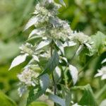Silverleaf Mountain Mint, Hoary Mountain Mint - Pycnanthemum incanum