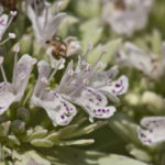 Big Leaf Mountain Mint, Short-toothed Mountain Mint, Clustered Mountain Mint - Pycnanthemum muticum