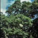 Water Oak, Possum Oak - Quercus nigra 4