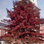 Pin Oak, Swamp Oak - Quercus palustris 4