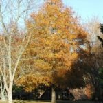 Willow Oak, Peach Oak - Quercus phellos 4
