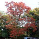 Red Oak, Northern Red Oak - Quercus rubra (Q. borealis) 3