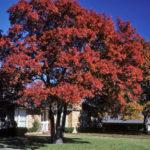 Shumard Oak, Shumard's Oak, Swamp Red Oak, Southern Red Oak - Quercus shumardii 3