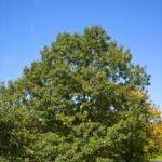 Black Oak - Quercus veluntina