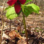 Red Trillium, Purple Trillium, Stinking Benjamin - Trillium erectum 4