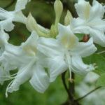 Alabama Azalea - Rhododendron alabamense 3