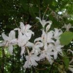 Sweet Azalea, Smooth Azalea - Rhododendron arborescens 2