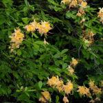 Flame Azalea - Rhododendron calendulaceum 3