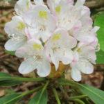 Rosebay Rhododendron, White Laurel, Great Laurel - Rhododendron maximum 4