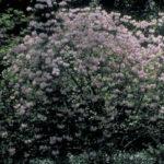 Pinxterbloom Azalea - Rhododendron periclymenoides (R. nudiflorum)