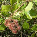 Fragrant Sumac, Lemon Sumac, Polecat Bush - Rhus aromatica