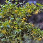 Golden Currant - Ribes aureum (R. odoratum)