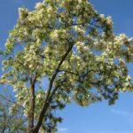 Black Locust, Common Locust, Yellow Locust, False Acacia - Robinia pseudoacacia 2