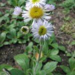 Robin's Plantain - Erigeron pulchellus 4