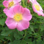 Carolina Rose, Pasture Rose - Rosa carolina 3