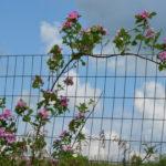 Prairie Rose, Illinois Rose, Climbing Prairie Rose - Rosa setigera 4