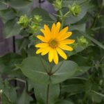 Rosin Weed, Wholeleaf Rosinweed - Silphium integrifolium