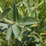 Round-headed Bush Clover - Lespedeza capitata 3