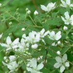 Blackcap Raspberry, Tall Blackberry, Black Raspberry - Rubus occidentalis 4