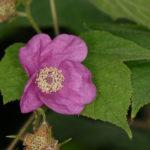 Purpleflowering Raspberry, Flowering Raspberry, Fragrant Thimbleberry - Rubus odoratus 4