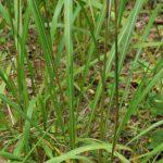 Silver Plumegrass, Fairy Wands - Saccharum alopecuroides (Erianthus alopecuroides) 3