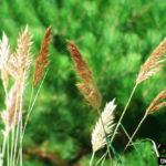 Bent-awn Plumegrass, Sortbeard Plumegrass - Saccharum brevibarbe var. contortum (Erianthus contortus)
