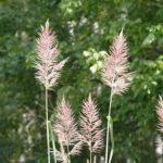 Sugarcane Plume Grass - Saccharum giganteum (Erianthus giganteum) 2