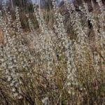 Prairie Willow, Dwarf Willow - Salix humilis