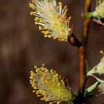 Silky Willow - Salix sericea